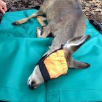 Whitetail Deer Fawn Lying On Small Carry Mat With Small Half Face Hood