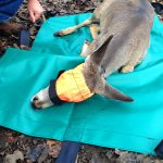 Whitetail Deer Fawn Lying On Small Carry Mat With Small Half Face Hood Top View